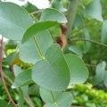 Eucalyptus Globulus Leaf Oil